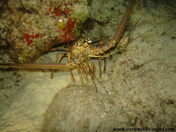 SCUBA DIVING NYC - spinylobster